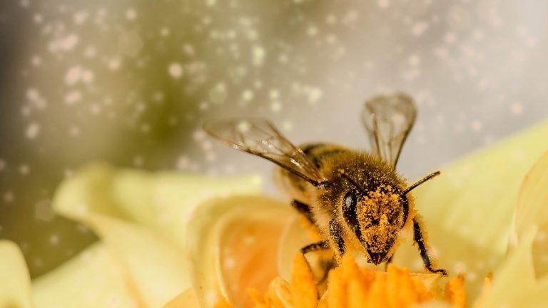 Le pollen cru : la nouvelle cure santé